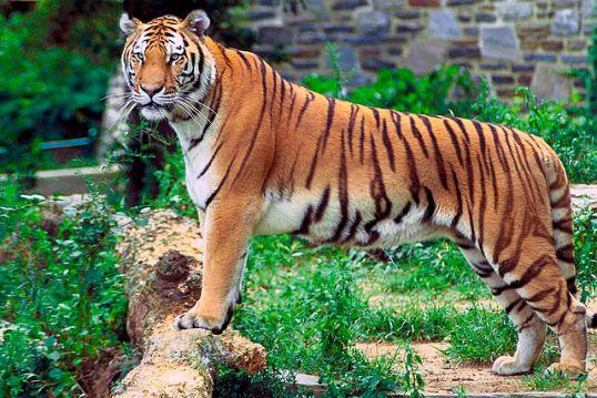 640px-Panthera_tigris_tigris